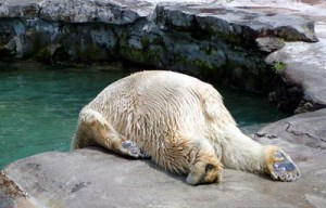 hangover bear