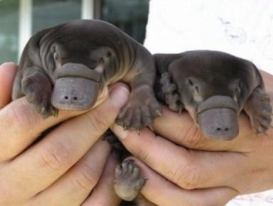 platypuses,- puggles