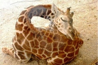 baby-giraffe-sleeping-2