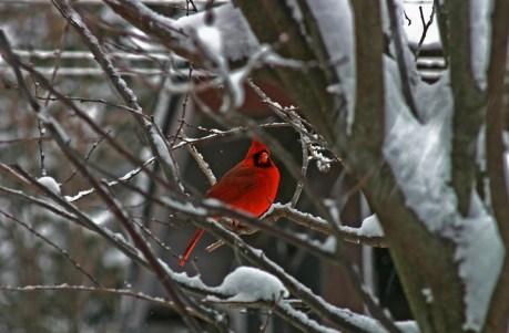 Christmas Cardinal
