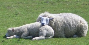sleeping sheep