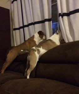 dogs windows