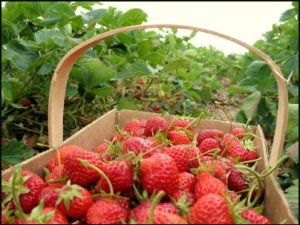Levi Day, Millionaire Day, Pick Strawberries, Quiche  Day