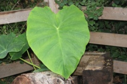 Elephant ear, Morning Glories and Yard Art