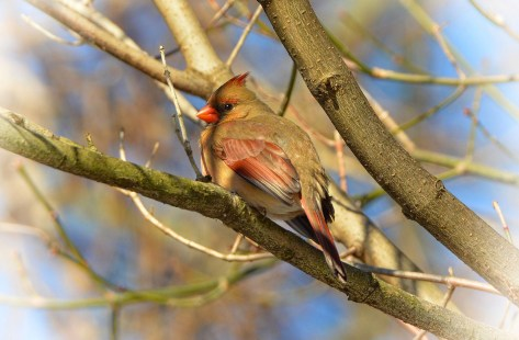 Female Cardinal, Disc Jockey Day, Penguin Awareness Day, Cheese Lover's Day