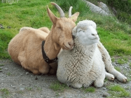 goat-and-sheep-