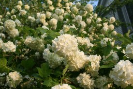 Sometimes these are called Snowball Bushes