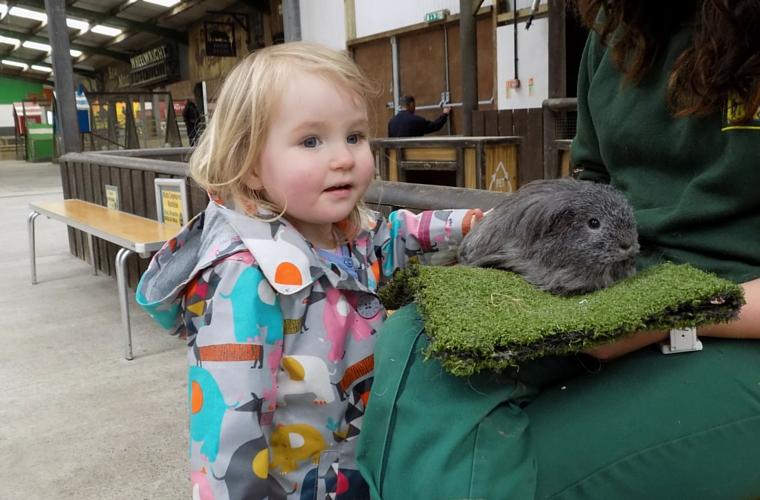 Folly Farn - the Jolly Barn - meet a guinea pig