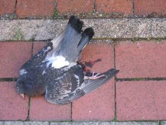 wildvogelgeflügelpest