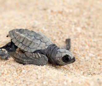 Biólogo comenta caso dos filhotes de tartarugas que cruzaram avenida de Maceió