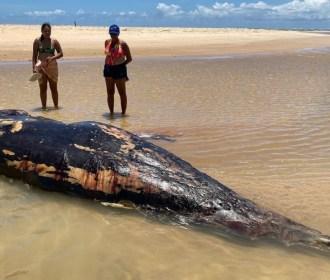 Baleia-Bicuda rara é encontrada morta na foz do Velho Chico