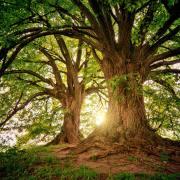 Trees with sun shining through