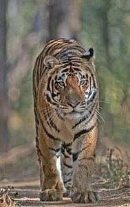 Satakosia Tiger
