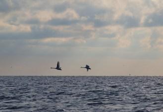 Cisnes en el Golfo Musura