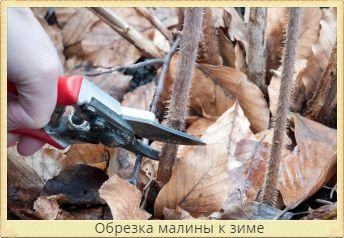 обрезка малины к зиме