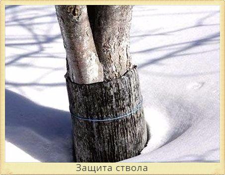 ствол дерева защищен рубероидом