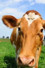 Guernsey dairy cow