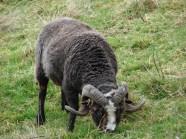 ram-lamb