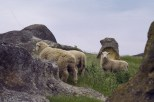 Sheep Elephant Rocks