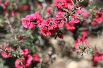 pink-pearl-manuka-tea-tree-2694013_640