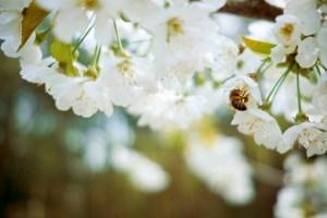 Miód manuka. Pszczoła zbierająca nektar z białych kwiatów.