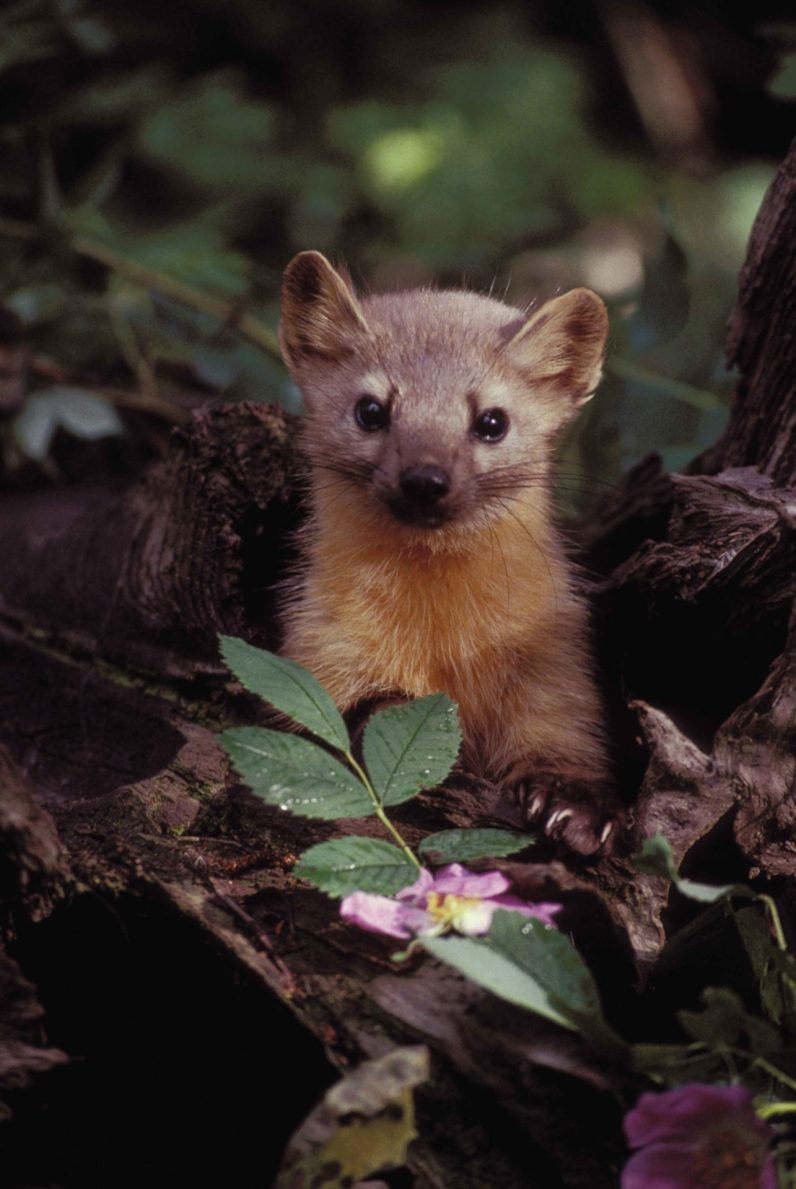 pine-marten-animal-mammal-martes-martes