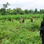 NDLEA Destroys 40 Hectares Of Cannabis Farm In Oyo