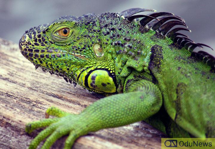 Faling Iguanas in Florida