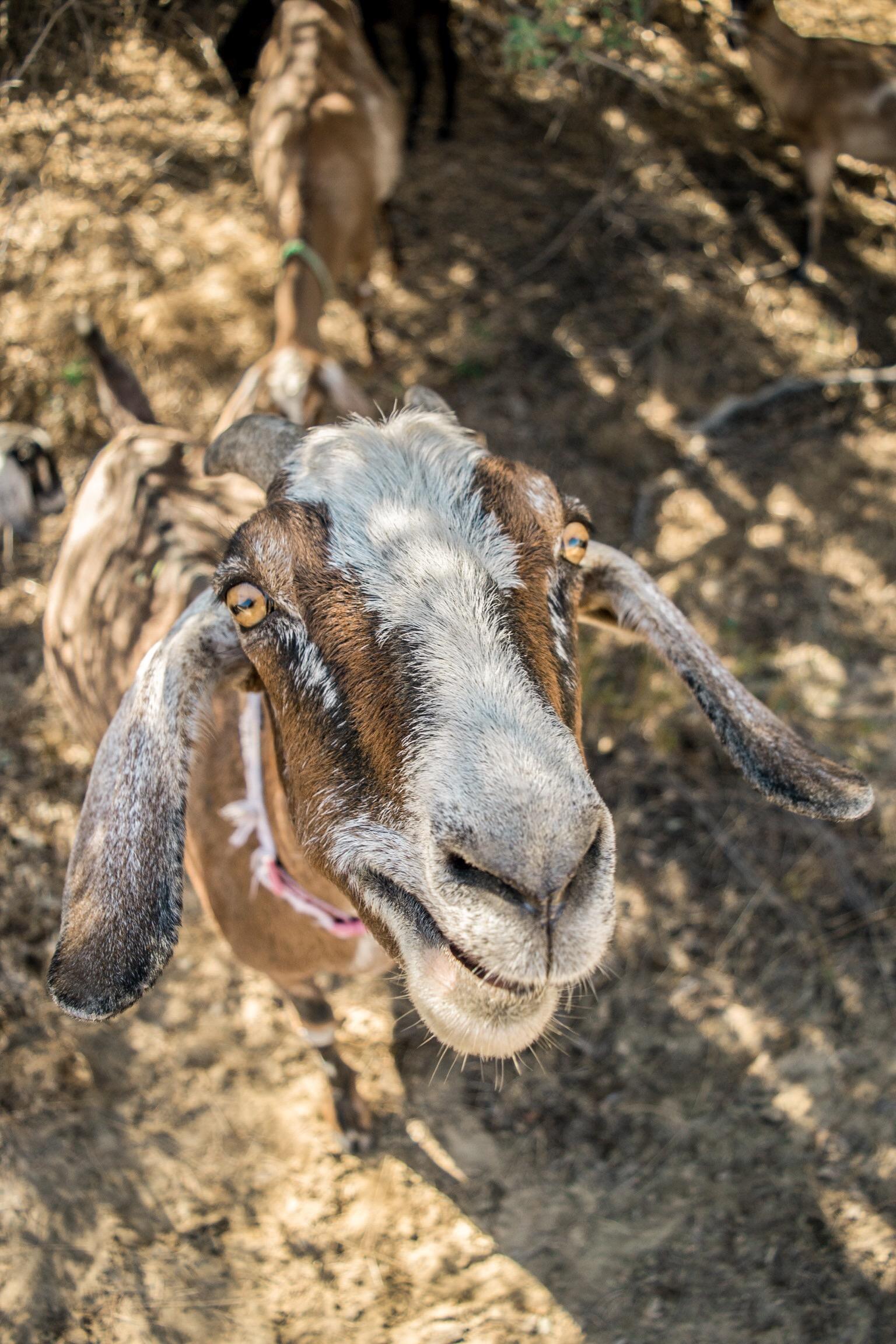 A Meditative Goat Walk on Odyssey Designs!