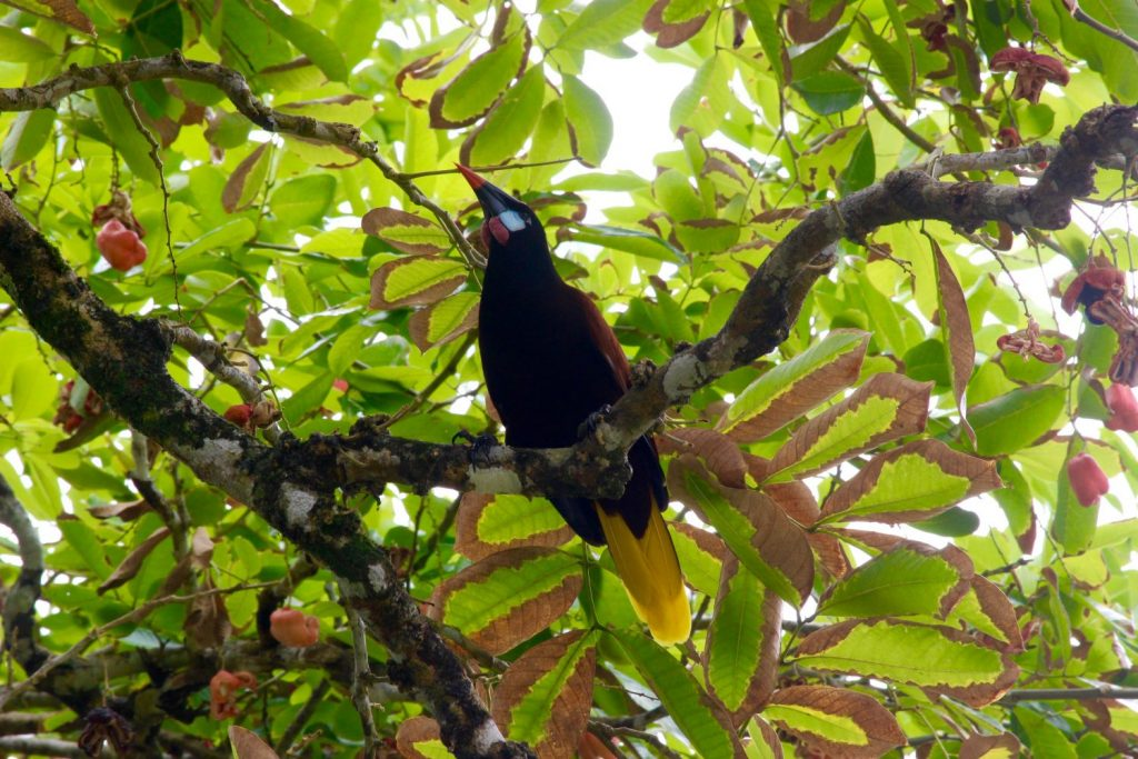 we think it's an oropendola