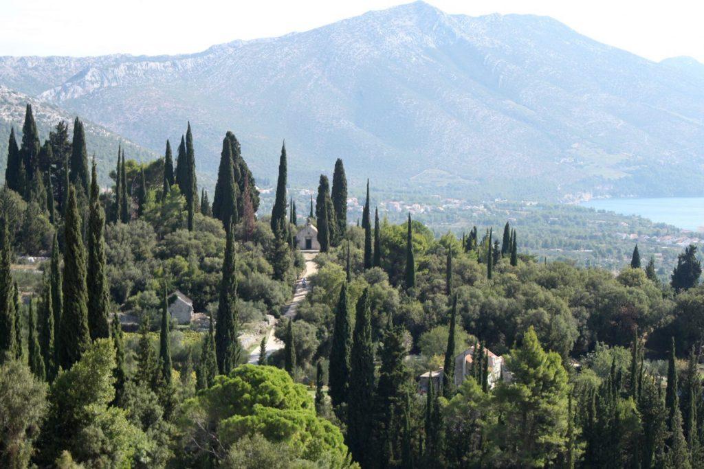 ancient cypress