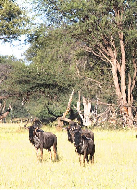 what are the wildebeest looking at?