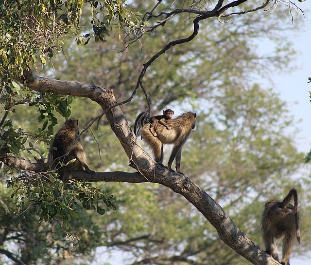 a tree full of baboons