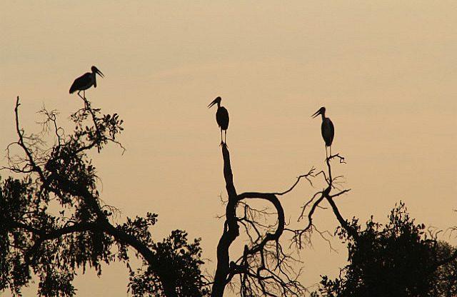 maribou stork at sunset