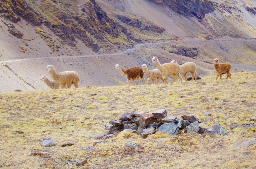 alpaca on the run