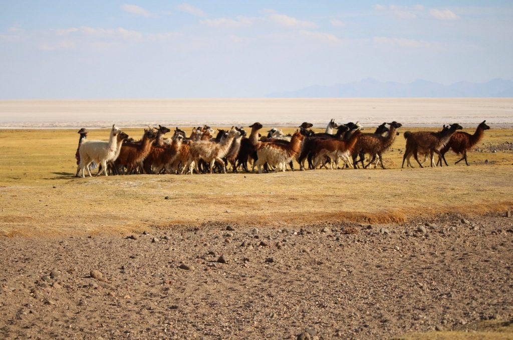 llamas too