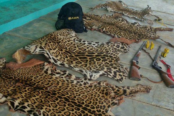 Pele de onças-pintadas apreendidas em Mato Grosso. Foto: Ascom/Ibama/MT.