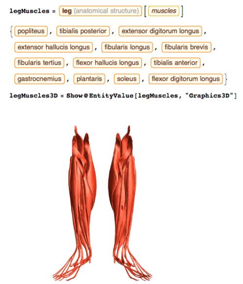 Anatomy_Leg Muscles