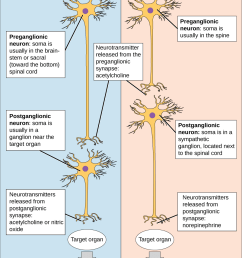 the autonomic nervous system is divided into sympathetic and parasympathetic systems in the sympathetic system [ 1044 x 1386 Pixel ]