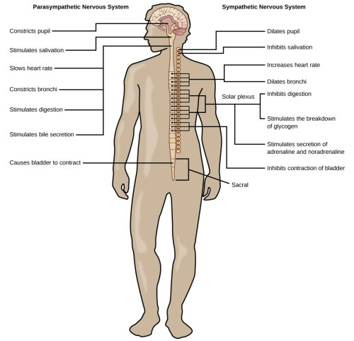 small resolution of illustration shows the effects of the sympathetic and parasympathetic systems on target organs and the