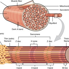 Sarcomere Diagram To Label John Deere 425 Wiring This Figure Shows The Structure Of Muscle Fibers. In Top Panel, A Sarcolemma Is Shown ...