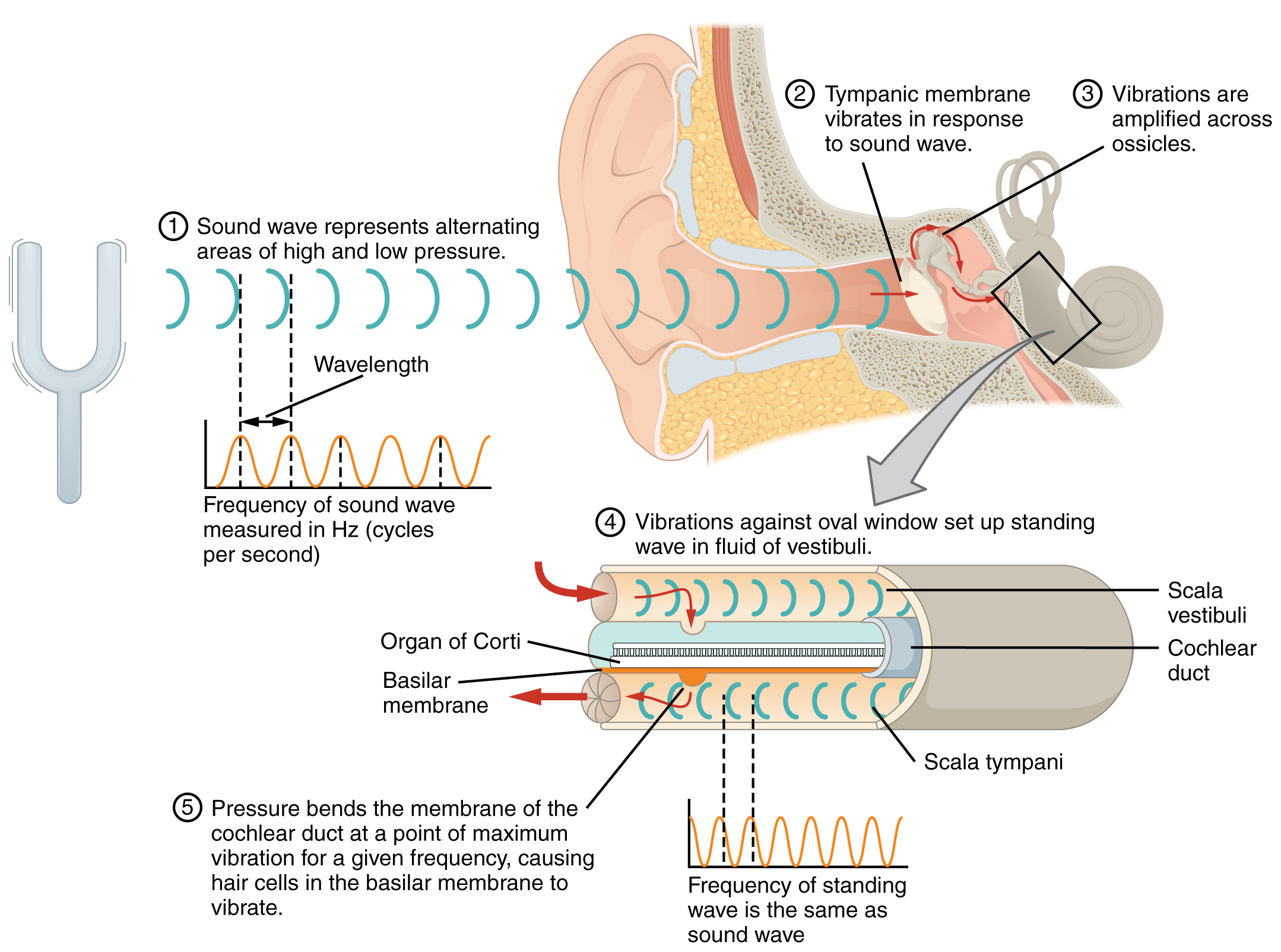 This Diagram Shows How Sound Waves Travel Through The Ear
