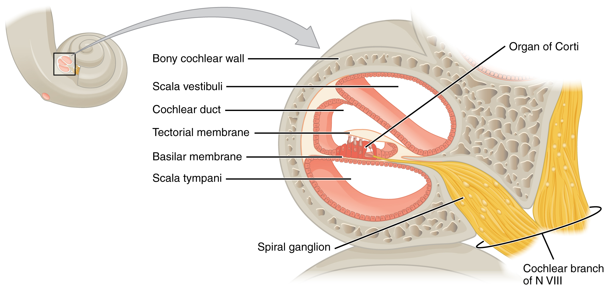 ear diagram label print out 1989 honda accord wiring this shows the structure of cochlea in