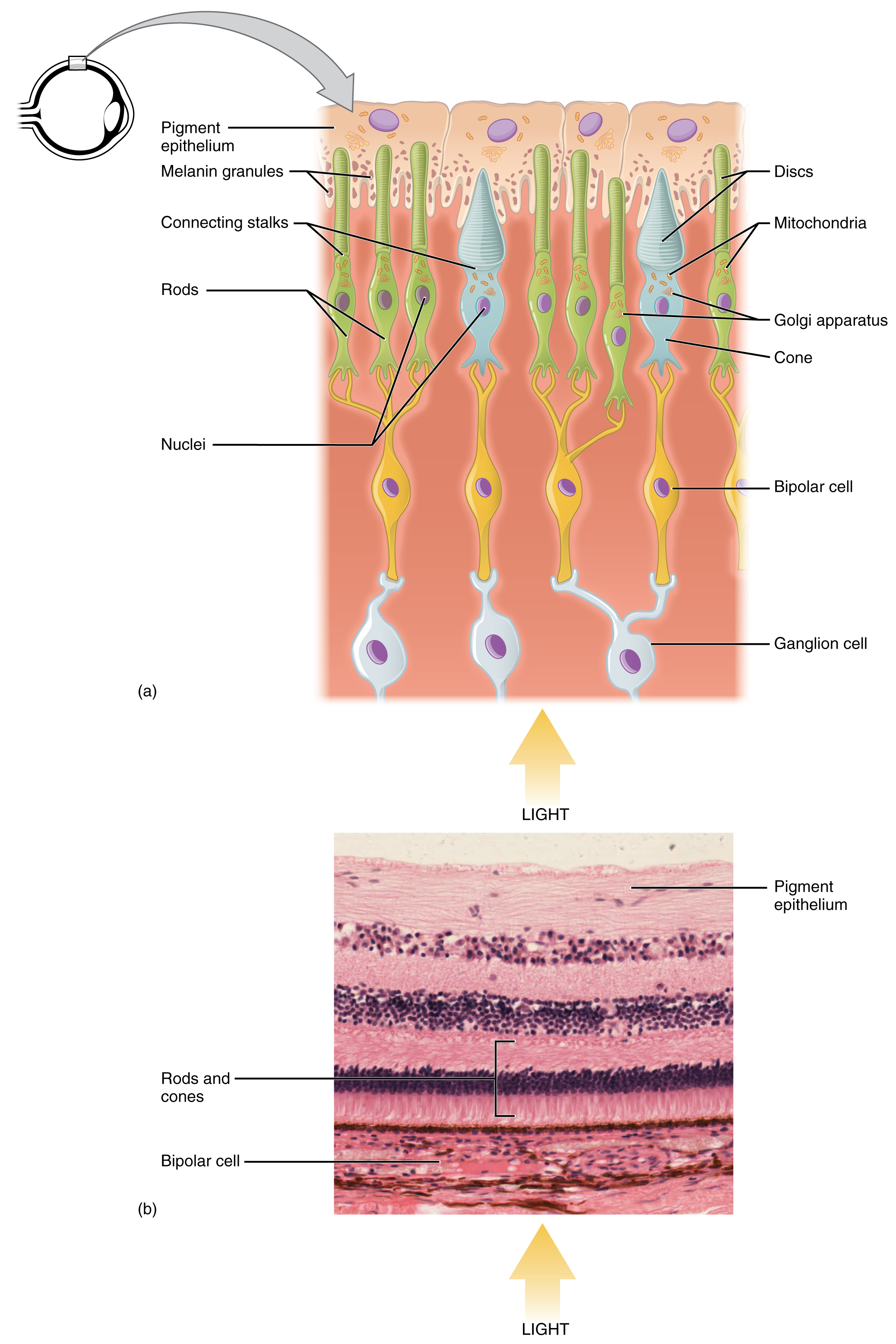 The Top Panel Shows The Cellular Structure Of The