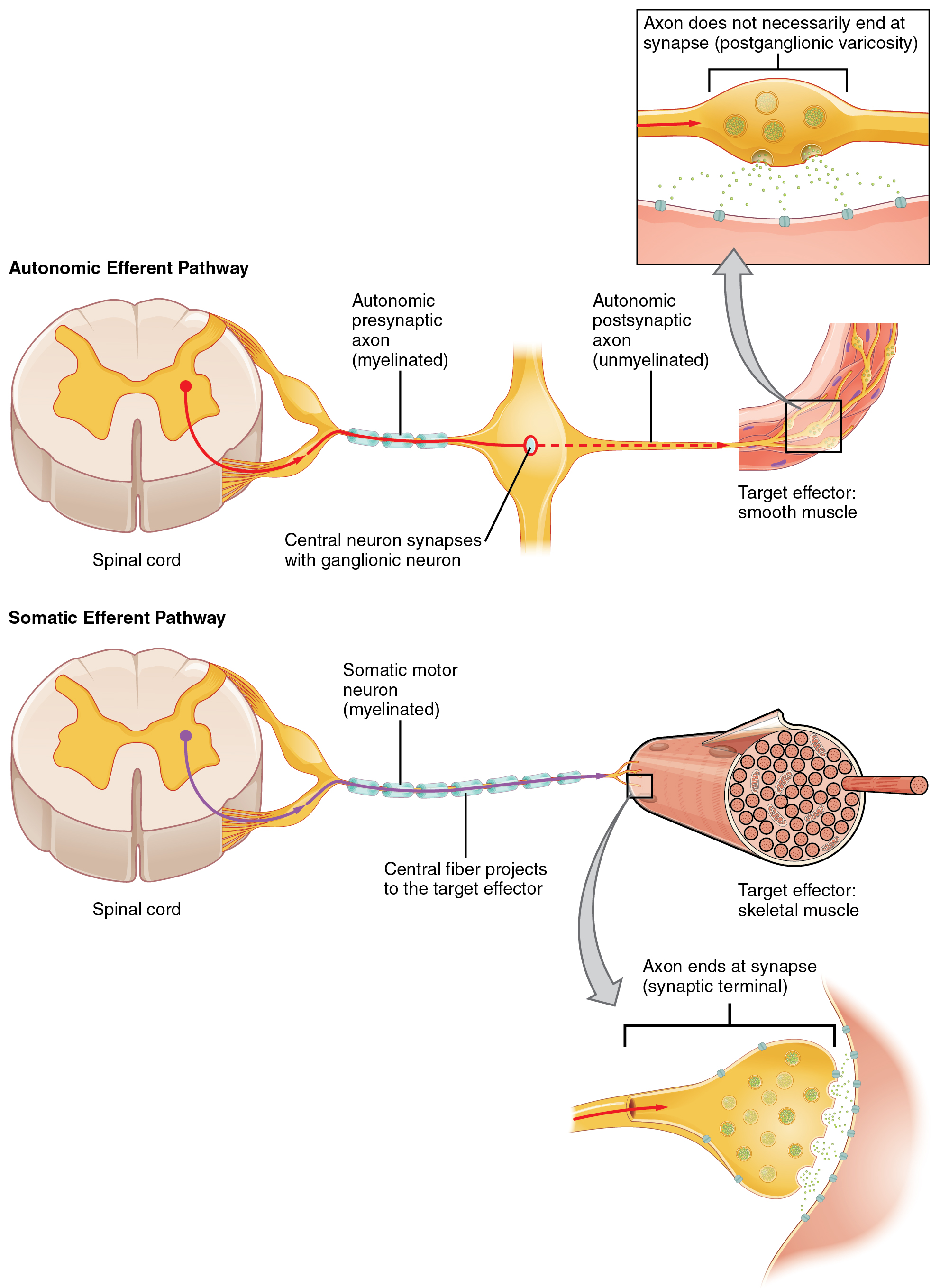 The Top Panel In This Figure Shows The Autonomic Efferent