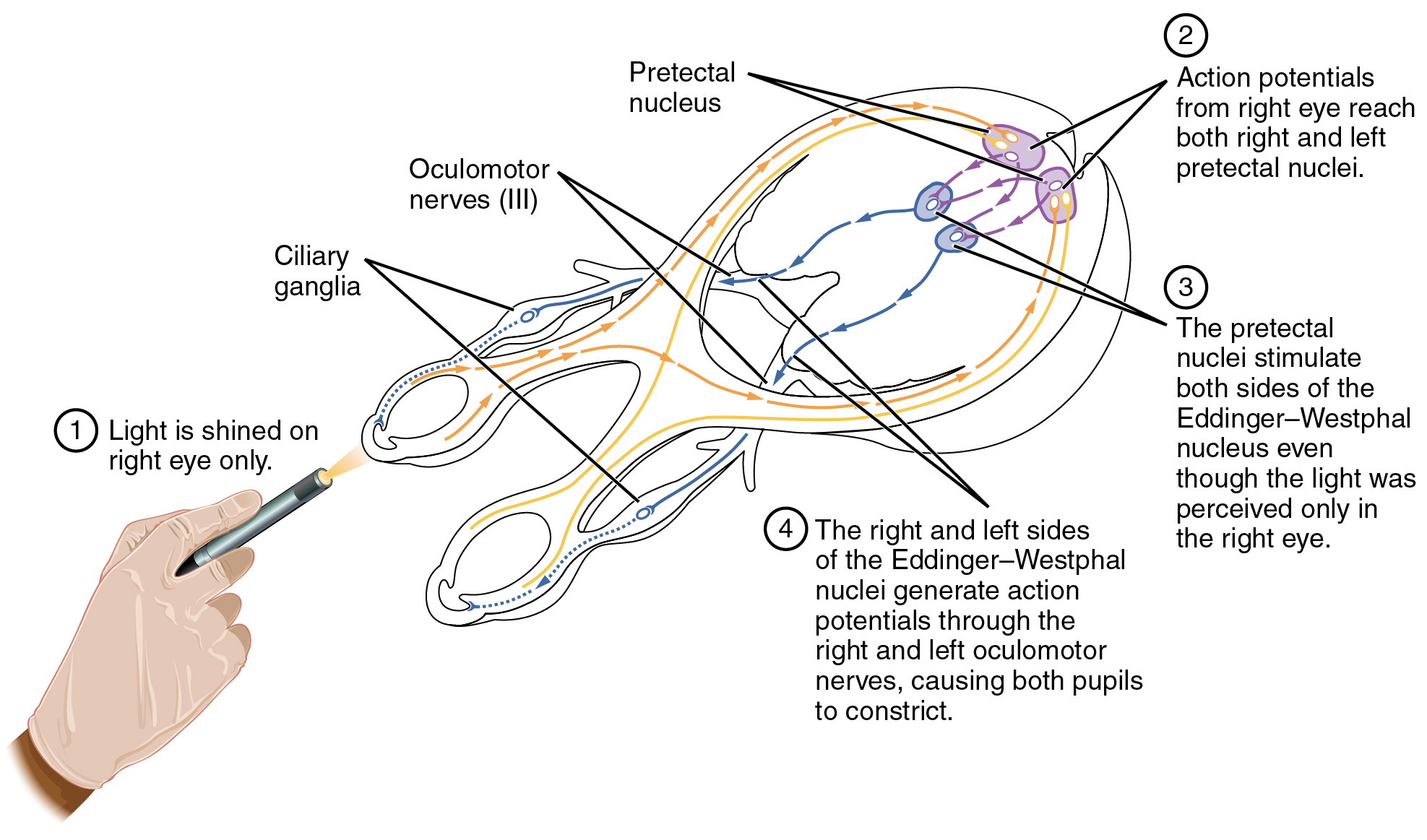 reflex arc diagram sacroiliac joint this shows the connections between different
