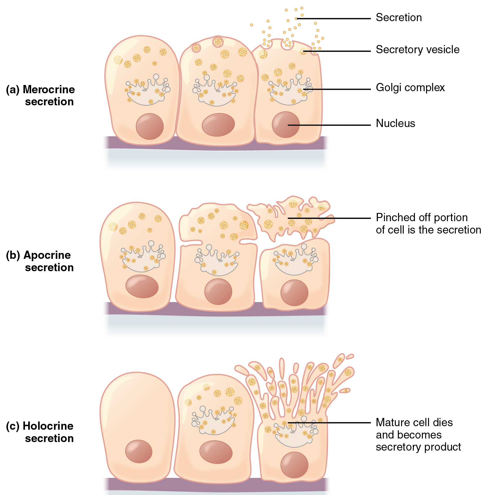 simple epithelial cell diagram 1998 ford expedition engine these three diagrams show the modes of secretion