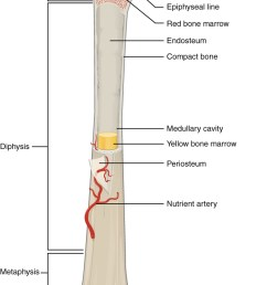 bone structure rh oerpub github io femur bone labeled tibia bone diagram [ 708 x 1156 Pixel ]