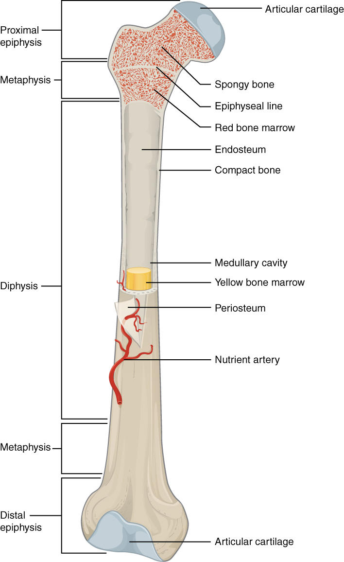 medium resolution of this illustration depicts an anterior view of the right femur or thigh bone the