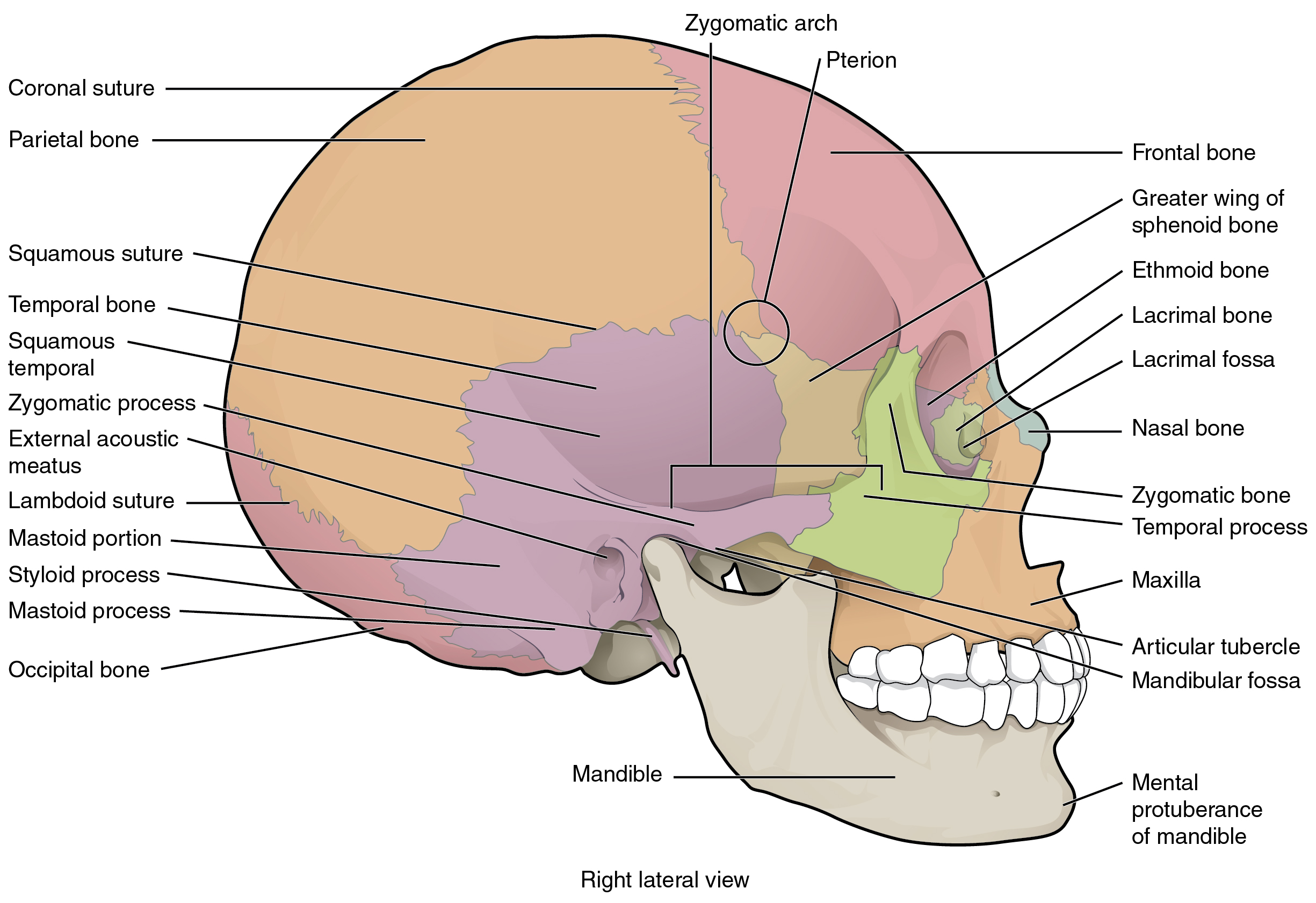 This Image Shows The Lateral View Of The Human Skull And